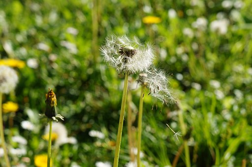Dandelion, Nature, Flower, Meadow, Seed, Field, Natural