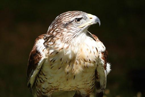 Red-tailed, Hawk, Bird, Raptor, Perched, Standing