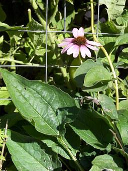 Echinacea, Plant, Bloom, Flower, Herbal, Herbs