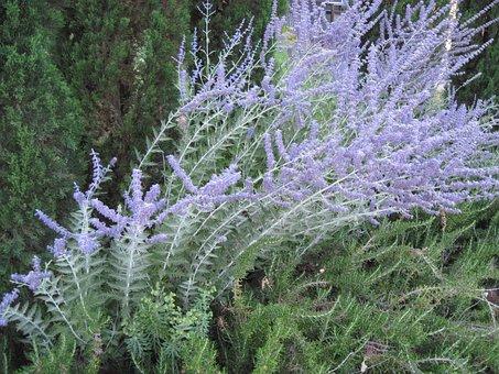 Lavender, Blossom, Flower, Plant, Purple, Floral