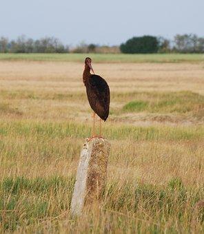 Black Stork, Privacy, Dignity, Bird