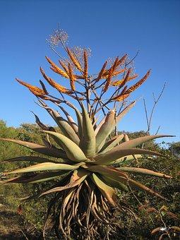 Succulent Plant, Aloe, Indigenous To Africa, Orange