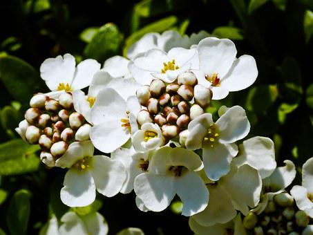 Candytuft, Flower, White, Iberis Sempervirens