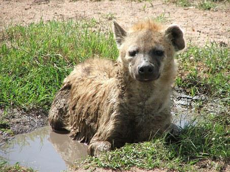 Hyena, Africa, Water Hole, Wallow, Wildlife, Animal