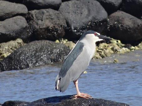 Night Heron, Heron, Auku'u, Water Bird, Sea, Coast