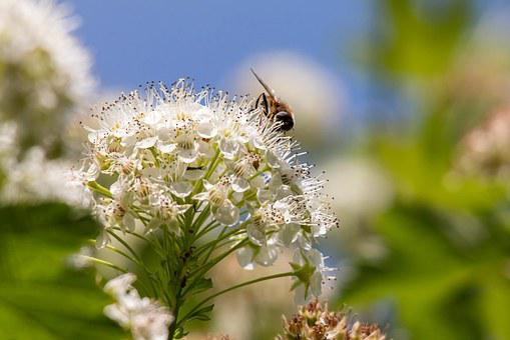 Bee, Umbel, Snowball-leaved Bladder Spiere, Bush