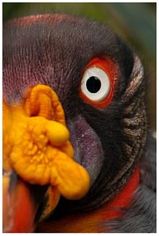 Vulture, King Vulture, Bird Of Prey, Colorful, Color