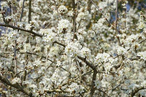 Blackthorn Flowers, Sloe Hedge, Flowers, White, Bush