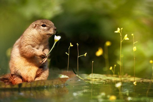Squirrel, Water Lily, Flower, Aquatic Plant