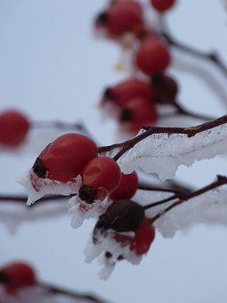 Rose Hip, Iced, Plant, Bush, Red, Ice, Icy, Thorn