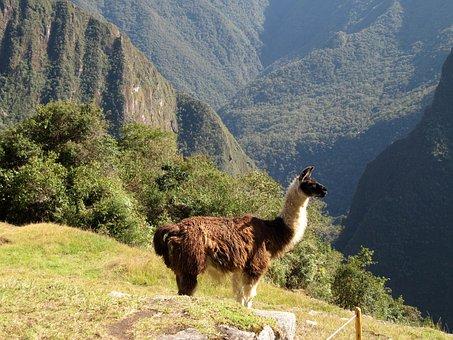 Lama, Alpaca, Animal, Machu Picchu, Peru