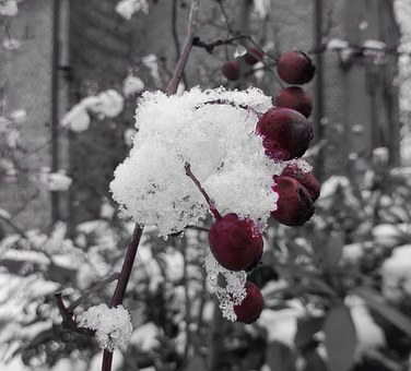 Winter, Berries, Snow, Wintry, Nature, Red, Berry Red