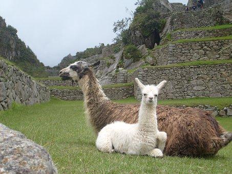 Llamas, Peru, Animals, Machu Picchu, Wildlife, Wild