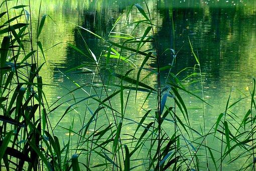 Lake, Pond, Reed, Teichplanze, Beautiful, Pretty