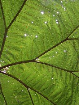 Big Leaf, Rainforest, Holes, Sunbeam, Leaf, Poas