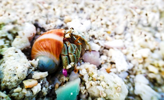 Hermit, Hermit Crab, Shell, Ocean, Saltwater, Nature
