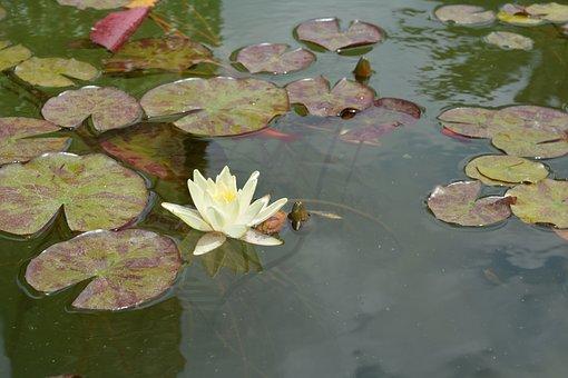 Pond, Aquatic Plant, Garden, Teichplanze, Water Lily
