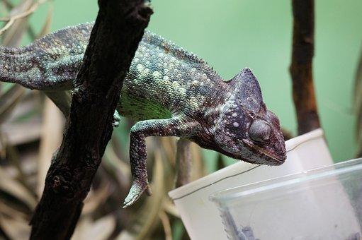 Chameleon, Feeding, Terrarium, Giant Chameleon, Feed