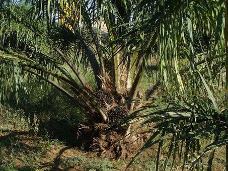 Oil Palm, Tree, Plantation, Horticulture, Karnataka