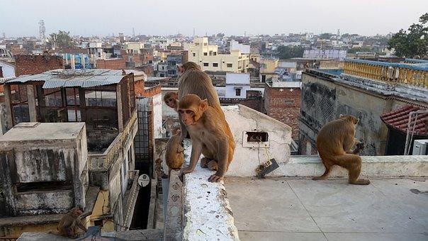 Monkey, Varanasi, On The Roof, India, Animals, Street