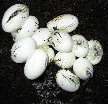 Snake Eggs, Hatching, Snakes, Eggs, Reptiles, Animal