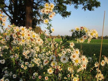 Erigeron Annuss, Annual Fleabane, Daisy Fleabane