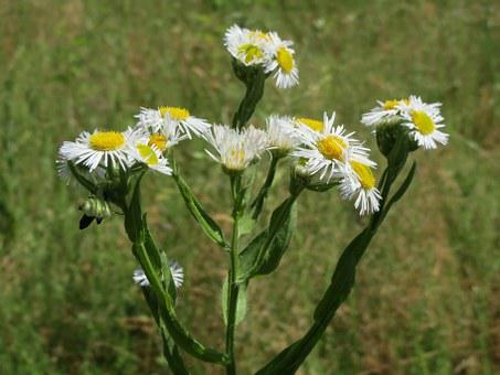 Erigeron Annuus, Annual Fleabane, Daisy Fleabane