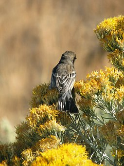 Bird, Rabbit Brush, Bloom, Animal, Eastern, Oregon, Usa