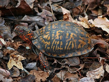 Eastern Box Turtle, Terrapene Carolina, Land Turtle