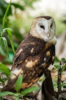 Eastern Grass Owl, Tyto Longimembris, Owl, Bird, Animal