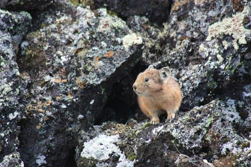 Pika, Animals, Eastern Sayan, Russia