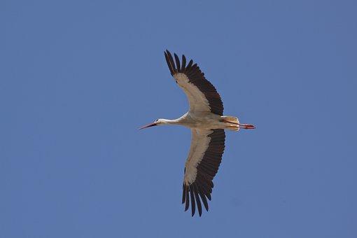 Stork, Bird, White Stork, Flying, Wing, Eastern