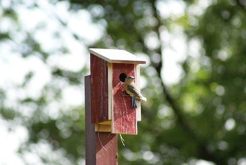 Eastern, Bluebird, Female