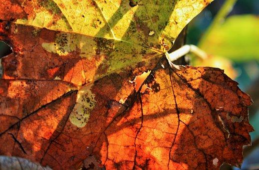 Russet Leaf, Leaf, Vine, Grape, Old, Dry, Brown, Rust