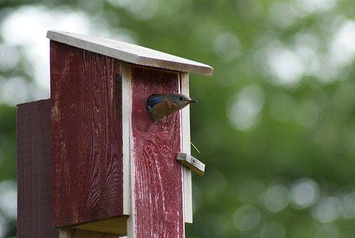Eastern Bluebird, Leaving Birdhouse, Food For Chicks