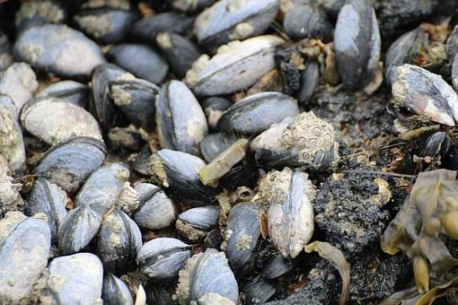 Mussels, Watt Area, Coastal Region, Barnacles