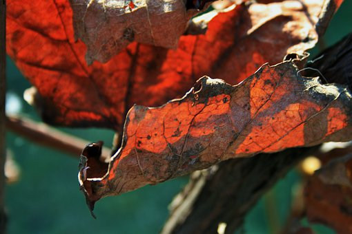 Russet Leaf, Leaf, Vine, Old, Dry, Brown, Rust, Decay