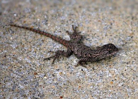 Eastern Fence Lizard, Sceloporus Undalatus, Scales