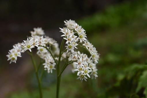 Wildflower, Stone Leaves, White, Flowers, Out Of Focus