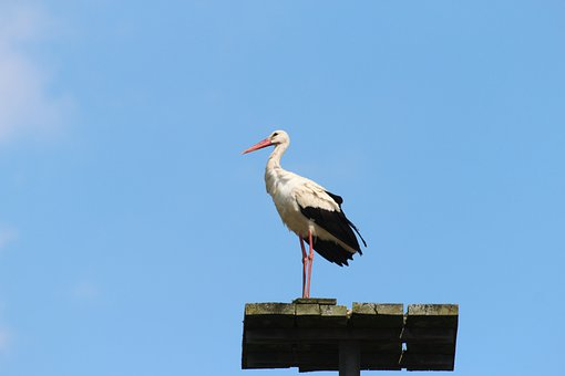 Stork, Bird, Storks, White Stork, Large Beak