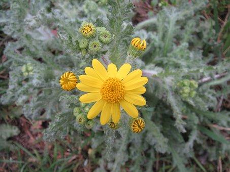 Senecio Vernalis, Eastern Groundsel, Wildflower, Macro