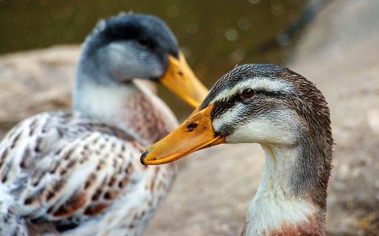 Ducks, In A Row, Bird, Animal, Beak, Orange, Nature