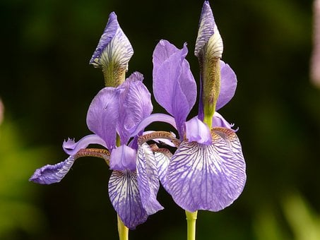 Different Colored Irises, Iris, Plant, Blossom, Bloom