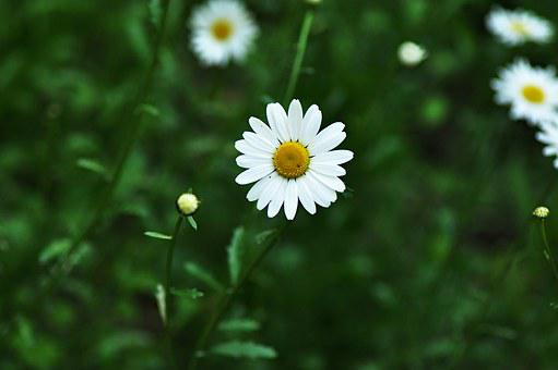 Daisy, Ox-eye Daisy, Flower, Bloom, Blossom, Petal