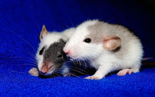 Rat, Young Animals, Playful, Sweet, Cute, Button Eyes