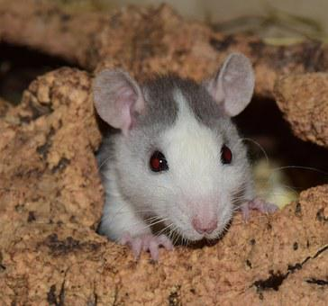 Rat, Nager, Rodent, Fur, Cute, Young, Close Up, Sweet