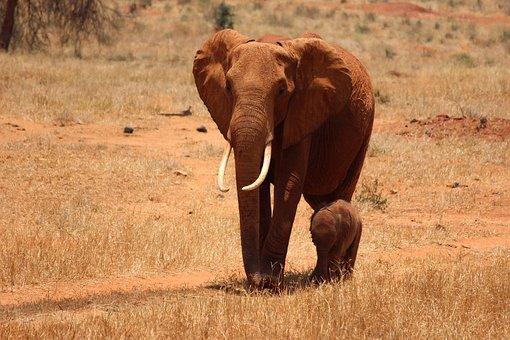 Elephant, Cub, Kenya, Tsavo, Safari