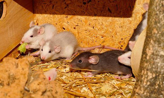 Rat, Rodents, Eat, Family, Head, Nager, Fur, Curious