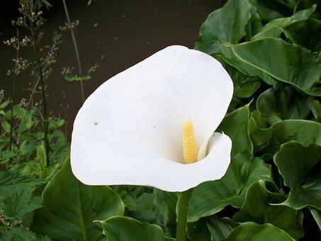 Zantedeschia, Lily, White, Flower, Arum, Green Leaves