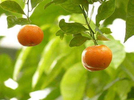 Mandarin, Orange, Tree, Fruit, Citrus Fruit